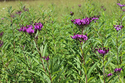 New York Ironweed growing in a field on the way to Big Fat Gap