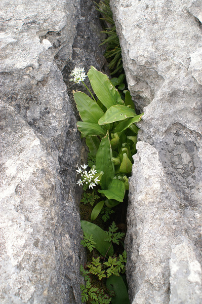 Wild garlic and ferns growing in a grike on the Limestone pavement near Sulber Gate