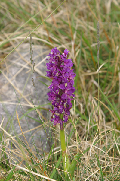 Orchid by the path through Sulber Nick, above Horton