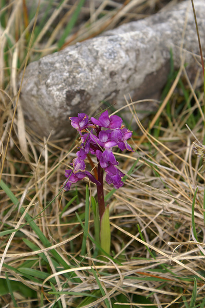 Orchid by the path through Sulber Nick