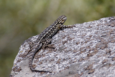 Western fence lizard (Sceloporus occidentalis). They were common spectators along the trail.