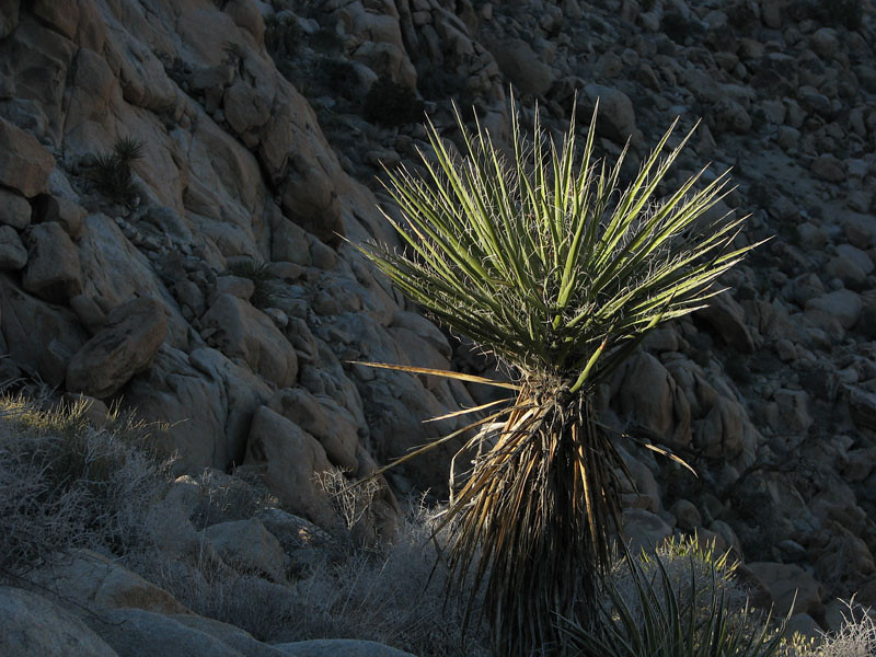A yucca enjoys the final rays of sunlight.