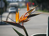 Bird of Paradise showing a shallow Depth of Field