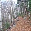 through the birch glades