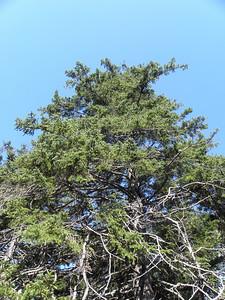 Scraggle tree