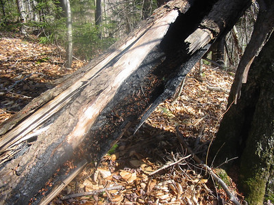 Tree charred by a lightning fire