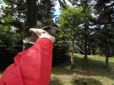 Fun with a Gray Jay