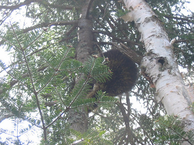 We treed a porcupine