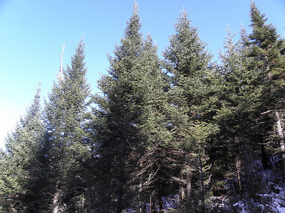 Got some good Xmas trees up here