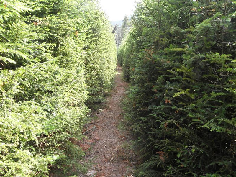 Christmas Tree Tunnel on Nancy Pond Trail