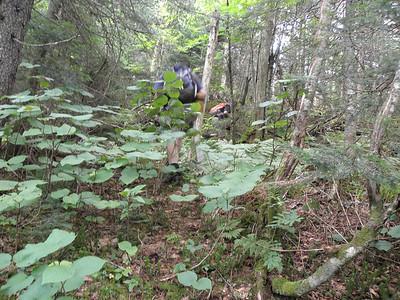 Easy hobblebush forest