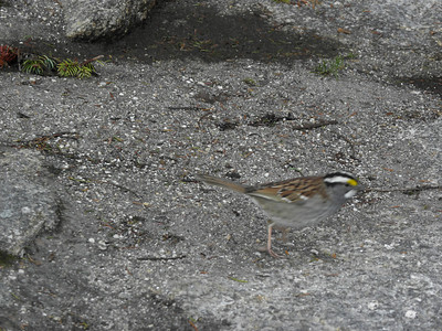 A brazen white throated sparrow