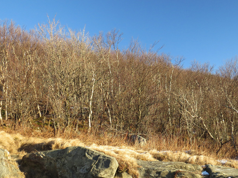 Twisted birch glade above the cliff