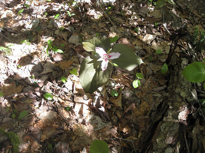 Painted Trilliums everywhere