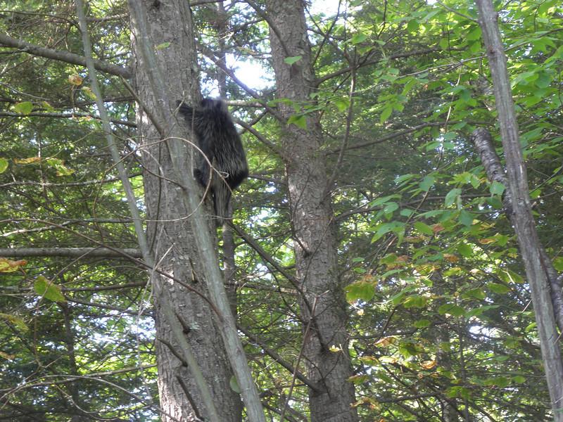 Scared a porky up a tree