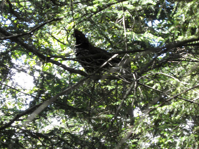 Spruce grouse that scared the crap out of me before flying up the tree