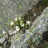 Mountain Diapensia (Diapensia lapponica)