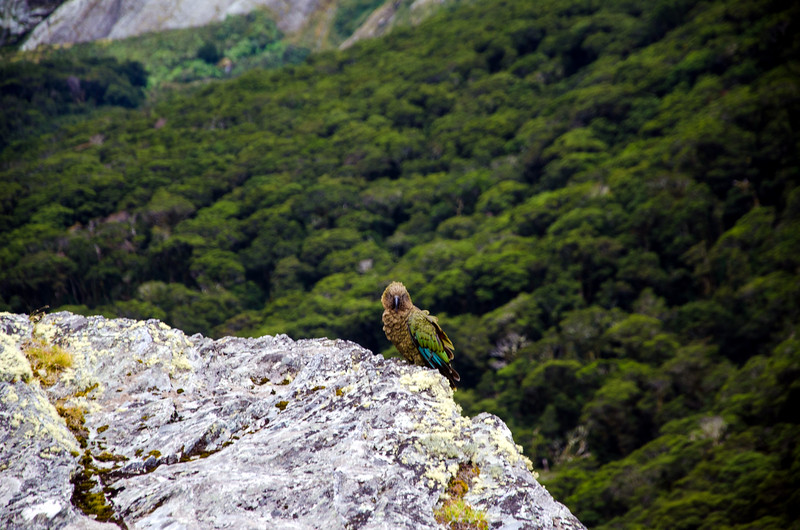 The first Kea I saw in New Zealand.  He came down and hung out with me while I soaked in my surroundings on Pt 908.  He demanded attention though.  Any time I stopped talking or focused elsewhere, he'd screech relentlessly until I turned back around.  And so I was introduced to the Kea personality.