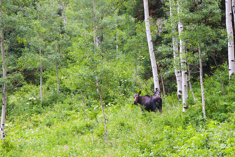I spotted the Moose, at about 25 yards. Whenever you see a moose,