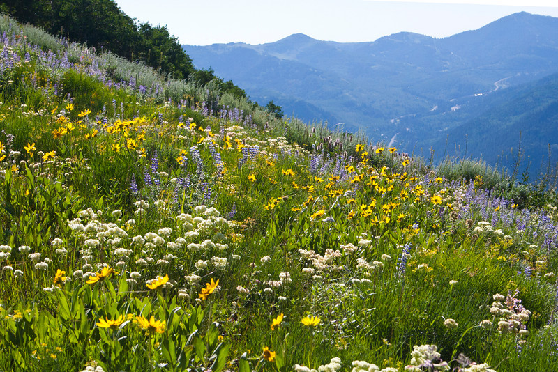 The wildflowers throughout the Wasatch Front were incredible this year, due to the record breaking snowfall and spring rains.
