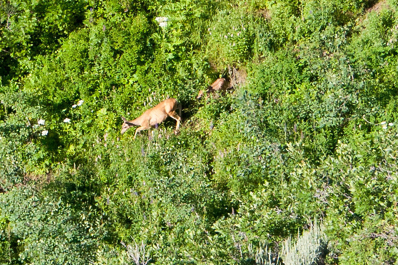 "Doe and fawn, this photo is titled, :"" Wish I bought a telephoto""-"