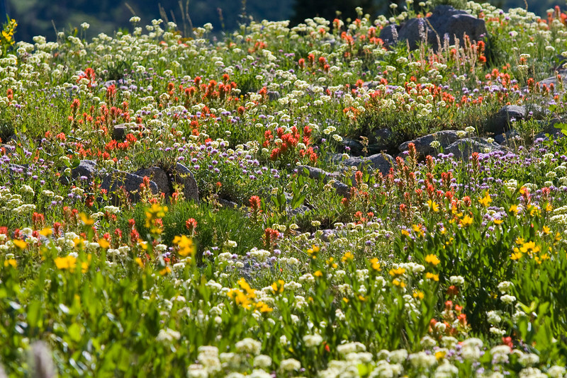 Albion Basin, Little Cottonwood Canyon, Utah. Peak of wildflower season.