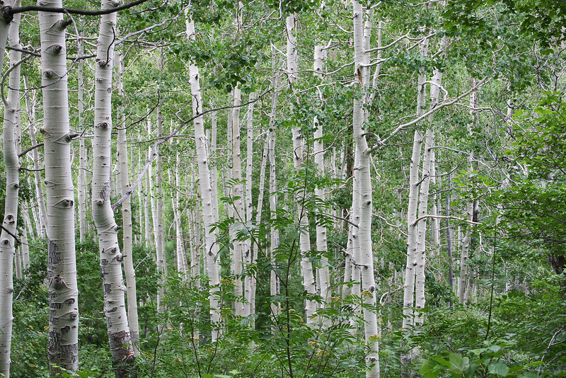 Aspen grove, near upper basin... would be nice about October.