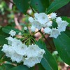 Mountain Laurel were prolific along this loop