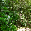 Mountain Laurel lined Rube Rock Trail