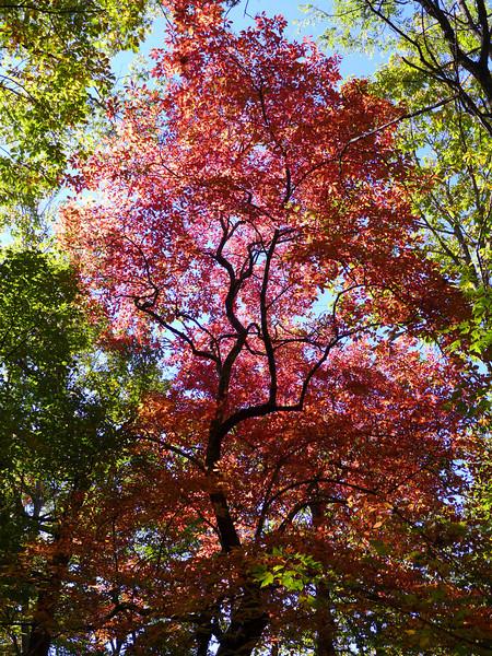 <h1>Sourwood Tree</h1>