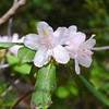 Rhododendron Blooms already!!