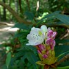 Rhododendron bud and blossom