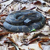 Black phase timber rattler