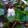 Oconee Bell blossom