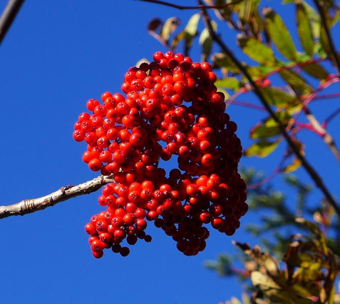 <h1>Mountain Ash Berries</h1>