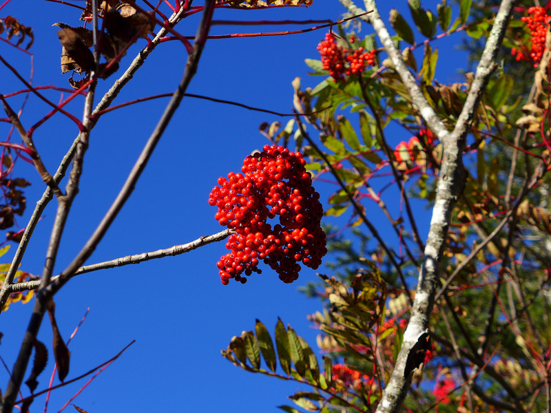 <h1>Mountain Ash Berries</h1>