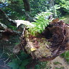 Fern, growing in a hollowed out section of an old, dead tree.   New life from old.