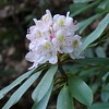 One of many rhododendron blossoms seen along the hike.