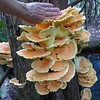 Chicken of the Woods?