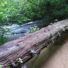 <h1>Log Bridge Across Middle Saluda</h1> .... just upstream from Dargan's Cascade.  The water is so clear that it is hard to tell there is thigh deep water on the right side of the bridge, which then tumbles down the cascade seen to the left.   Dargan's Cascade is further down.