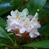 Rhododendron Blossom seen along Jones Gap Trail.