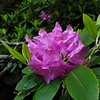 Rhododendron blooms lined Greenland Creek in great profusion.