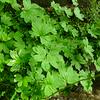 Boykinia aconitifolia - Allegheny Brookfoam.   Leafy portion