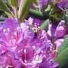 Great Photo by Mark, of a bumblebee hard at work in a rhodo blossom.