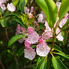 This area had some Mountain Laurel in gorgeous, perfect bloom.