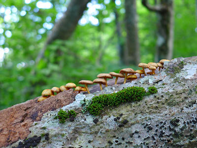 Single File Everyone!!      Spotted this line of toadstools on an old log near the end of the hike.