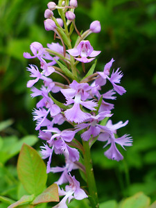 Purple Fringed Orchid2