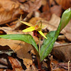<h1>Trout Lily</h1>