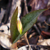 <h1>Trout Lily</h1> ... in February!!