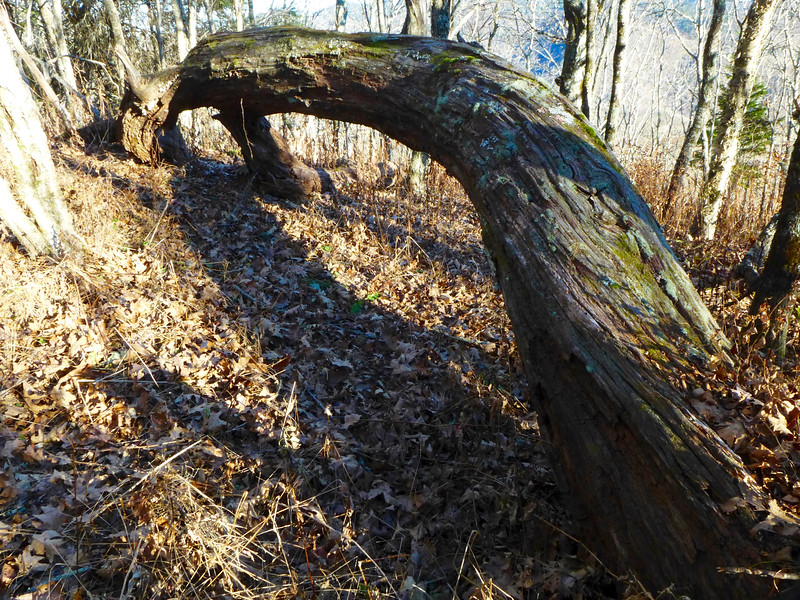 Remnant of an old tree lying along the trail